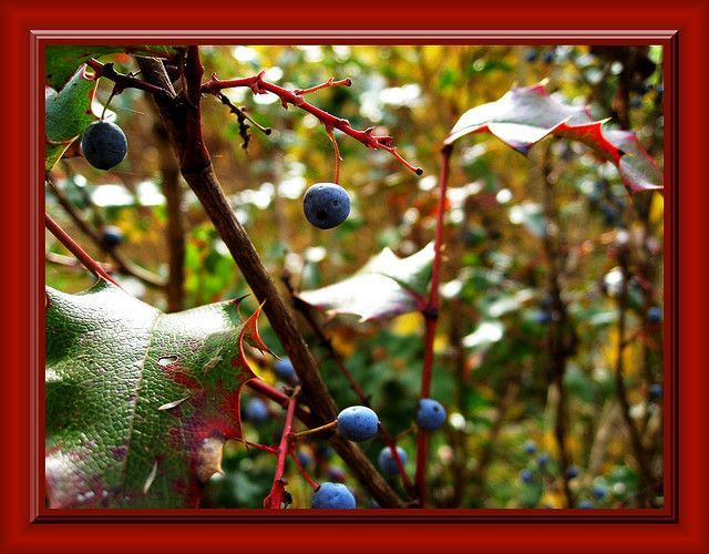Oregon Grape Root for Herpes